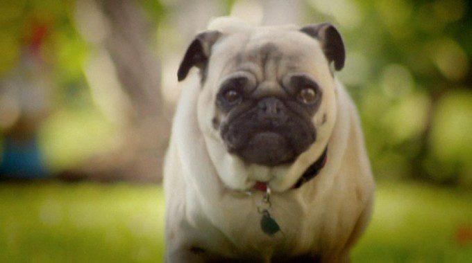 cachorro pug ads doritos