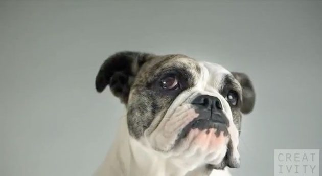 cachorro, bulldog, 1000 fps, pedigree, anúncio